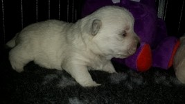 Sugar Star FCI, West Highland White Terrier Kennel, West Highland White Terriers