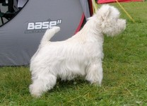 Sugar Star FCI, West Highland White Terrier Zucht, West Highland White Terriers